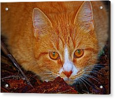 Ready To Pounce Acrylic Print