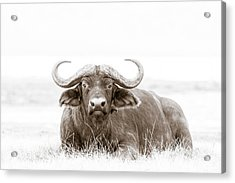 Reclining Buffalo With Oxpecker Acrylic Print