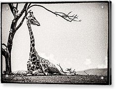 Acrylic Print featuring the photograph Reclining Giraffe Sepia by Mike Gaudaur