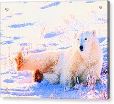 Reclining Polar Bear Acrylic Print