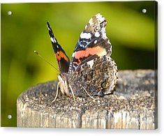 Red Admiral Butterfly Acrylic Print by David Lee Thompson