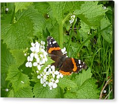 Acrylic Print featuring the photograph Red Admiral Butterfly by Lingfai Leung