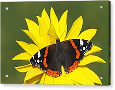 Red Admiral Butterfly Netherlands Acrylic Print