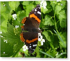 Acrylic Print featuring the photograph Red Admiral In Toronto by Lingfai Leung