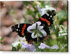 Red Admiral  Acrylic Print by Sarah Boyd