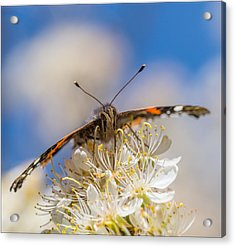 Red Admiral Butterfly On Plum Blossoms Acrylic Print