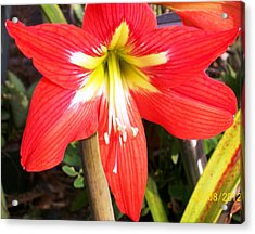 Acrylic Print featuring the photograph Red Amarylis by Belinda Lee