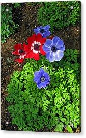 Red And Blue Anemones Acrylic Print by Ausra Huntington nee Paulauskaite