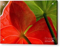 Red And Green Anthurium Acrylic Print