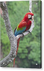 Red And Green Macaw Pantanal Brazil Acrylic Print