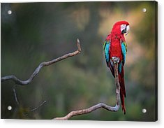 Red-and-green Macaw Sitting On Branch Acrylic Print by Sean Caffrey