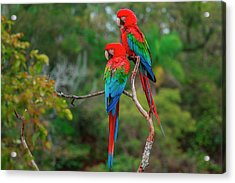 Red-and-green Macaws, Ara Chloroptera Acrylic Print by Mint Images/ Art Wolfe