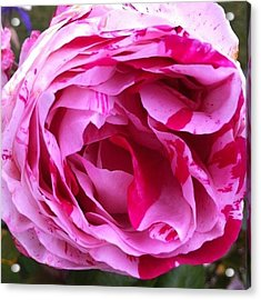 Red And Pink Rose Acrylic Print