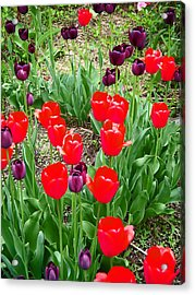 Red And Purple Tulips Acrylic Print