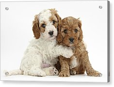 Red And Red-and-white Cavapoo Puppies Acrylic Print