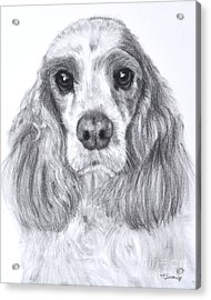 Red And White Cocker Spaniel Acrylic Print