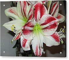 Red And White Love Beauty Acrylic Print by Stephanie Francis