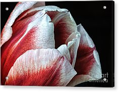 Red And White Tulip Closeup Acrylic Print by Madonna Martin