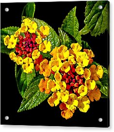 Red And Yellow Lantana Flowers With Green Leaves Acrylic Print