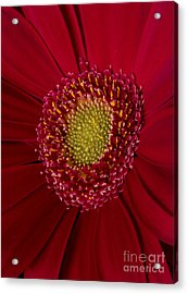 Red And Yellow Acrylic Print by Mitch Shindelbower