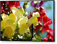 Red And Yellow Snapdragons II Acrylic Print by Aya Murrells