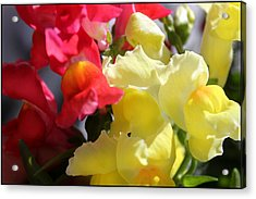 Red And Yellow Snapdragons IIi Acrylic Print by Aya Murrells