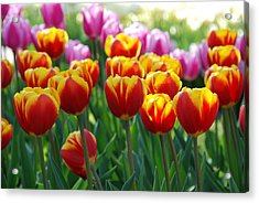 Acrylic Print featuring the photograph Red And Yellow Tulips  by Allen Beatty