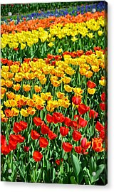 Red And Yellow Tulips Acrylic Print by Gynt