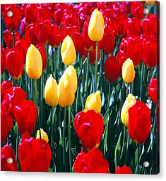 Red And Yellow Tulips - Square Acrylic Print