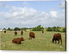 Acrylic Print featuring the photograph Red Angus Cattle by Charles Beeler