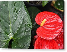 Red Anthurium Flower Acrylic Print