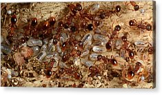 Red Ants With Larvae Acrylic Print by Nigel Downer