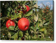 Red Apple Growing On Tree Acrylic Print