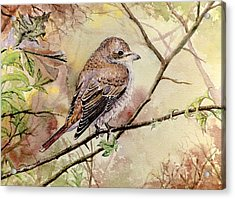 Red Backed Shrike Acrylic Print by Andrew Read