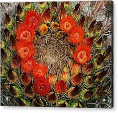 Red Barell Cactus Flowers Acrylic Print by Tom Janca
