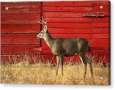 Red Barn Buck Acrylic Print