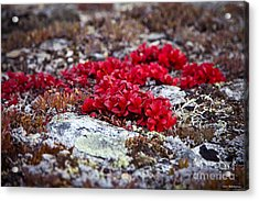 Red Bearberry Acrylic Print