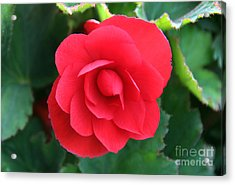Acrylic Print featuring the photograph Red Begonia by Sergey Lukashin