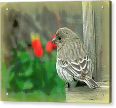 Red Behind Little Beak Acrylic Print by Heidi Manly