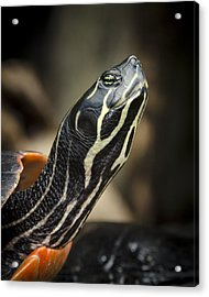 Red Bellied Cooter Acrylic Print