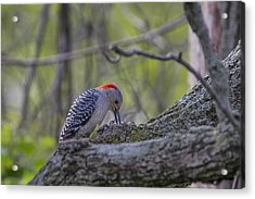 Red-bellied Woodpecker 2 Acrylic Print