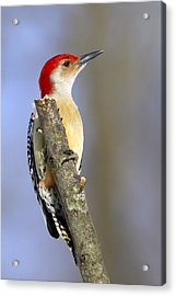 Red-bellied Woodpecker Acrylic Print by David Lester