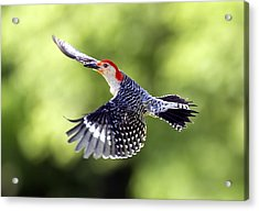 Red-bellied Woodpecker Flight Acrylic Print by David Lester