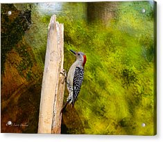 Red-bellied Woodpecker Happily Pecks Acrylic Print