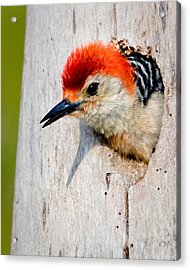 Red-bellied Woodpecker II Acrylic Print by William Beuther