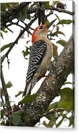 'red-bellied Woodpecker' Melanerpes Carolinus  Acrylic Print
