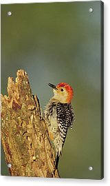 Red-bellied Woodpecker (melanerpes Acrylic Print