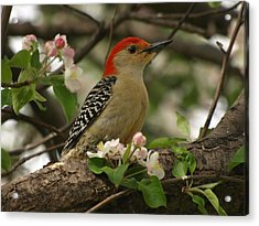 Acrylic Print featuring the photograph Red-bellied Woodpecker by James Peterson