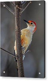 Red Bellied Woodpecker Acrylic Print by Paul Freidlund