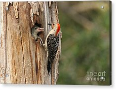 Red-bellied Woodpecker With Chick Acrylic Print